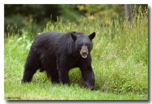 Black_Bear_4731