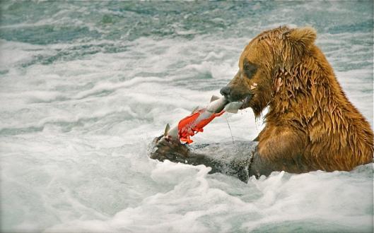 grizzly-bear-salmo_2174488k