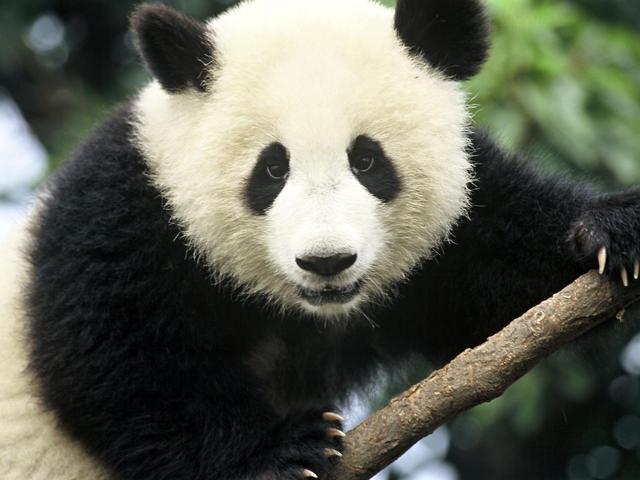 Giant_Panda_Hero_image_(c)_Michel_Gunther_WWF_Canon