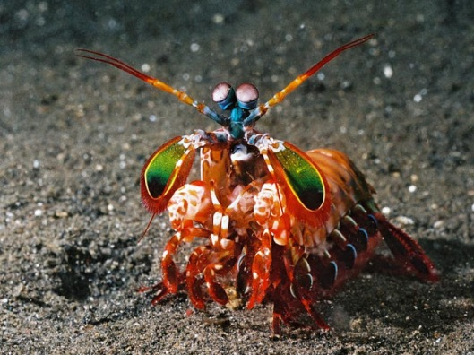 Mantis shrimp2