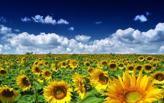 summer-sunflowers