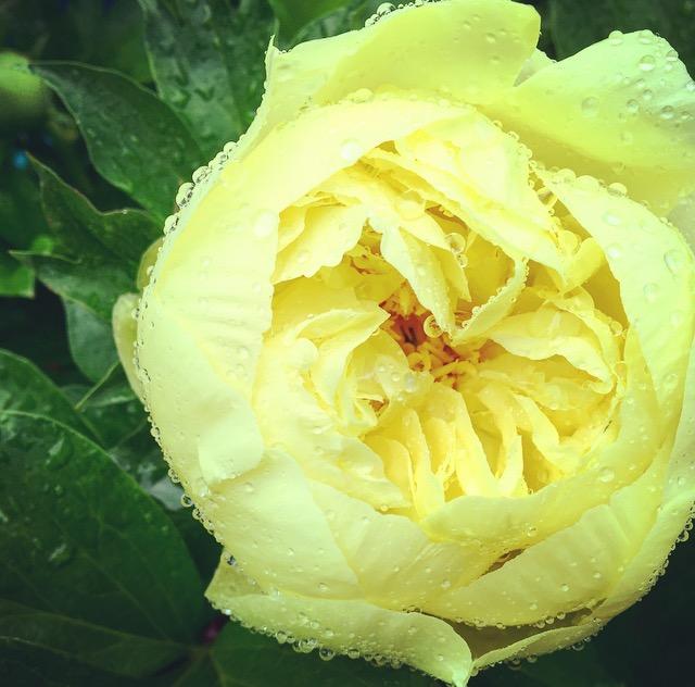 peonie yellow