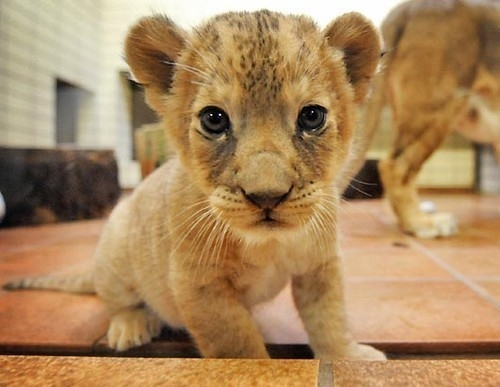 94647-Cute-Baby-Lion