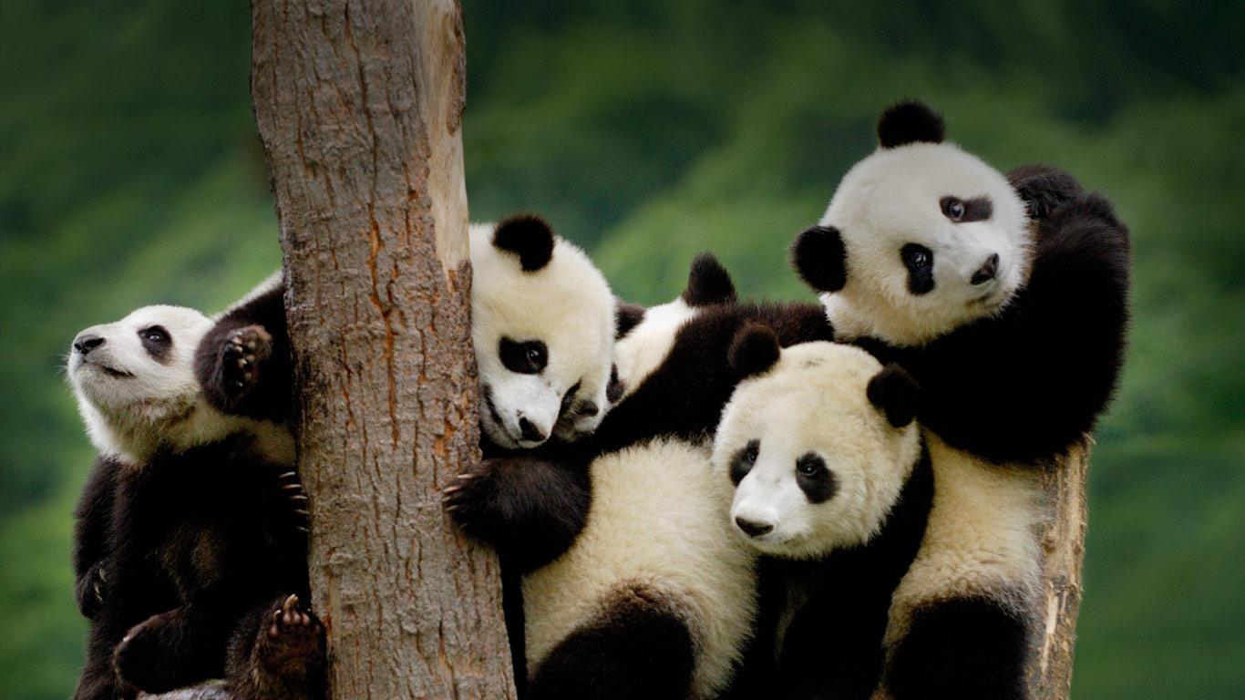 Amazing Animals Pictures Panda (4)