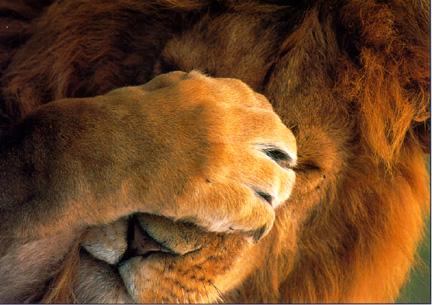graphics-lions-406659