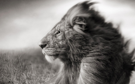 lion-face-black-and-white-wallpaper-2