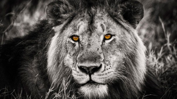 preview_black-and-white-lion-portrait
