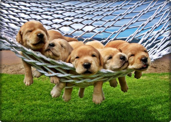 Puppies_for_sale_in_florida